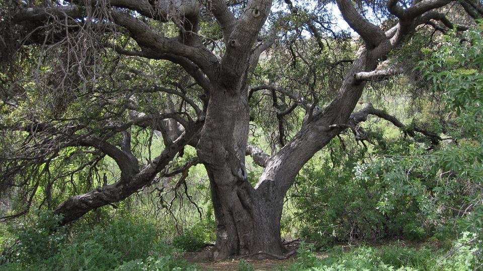 oak-194286_960_720